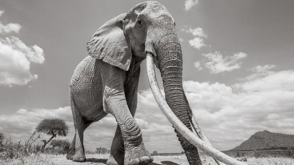Africa's Giant Tuskers - Page 29 - Africa Wild